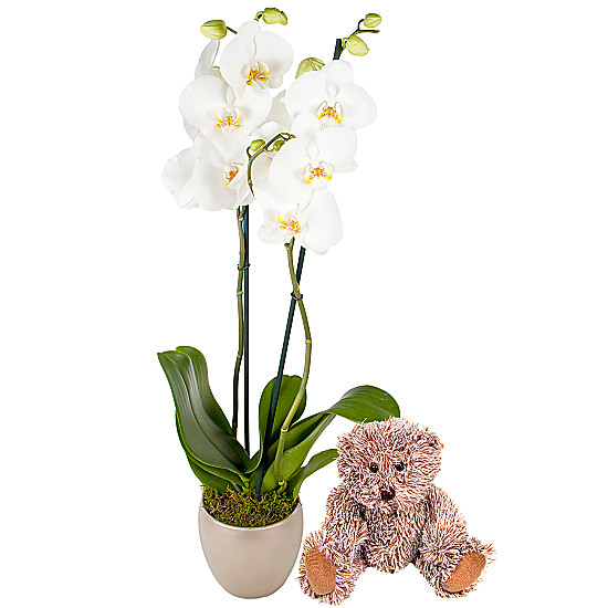 Serenata Flowers New Baby Orchid Gift Set Picture