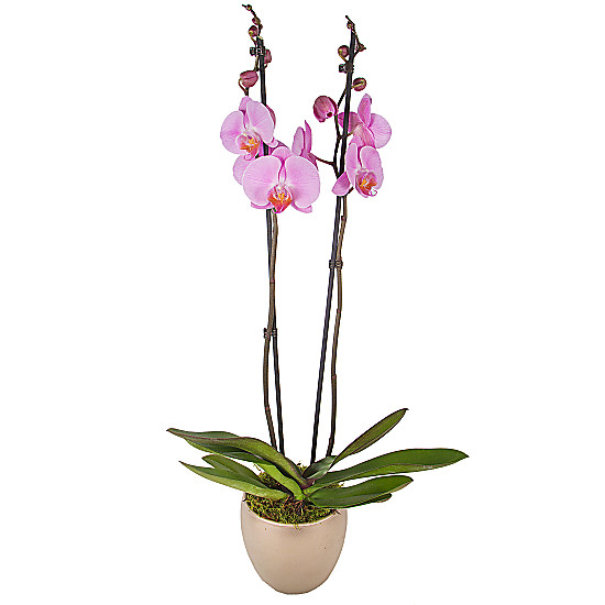 Serenata Flowers Pink Phalaenopsis Orchid Picture