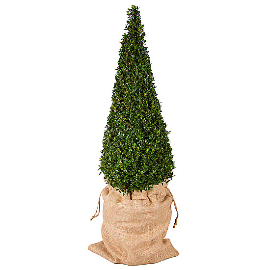 Serenata Flowers Pyramid Buxus Picture
