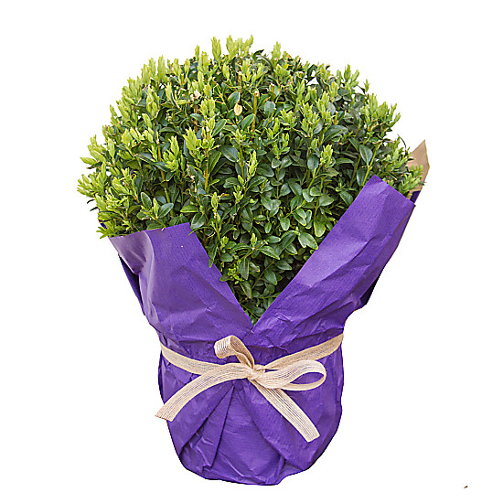 Serenata Flowers Round Buxus Picture