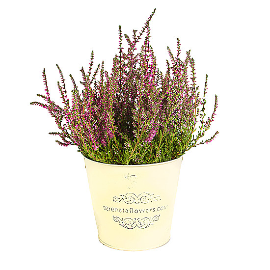 Serenata Flowers Pink Heather Picture