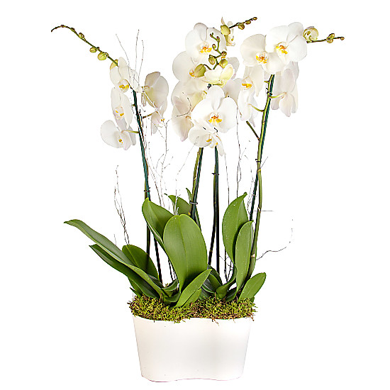 Serenata Flowers Winter Orchid Planter Picture