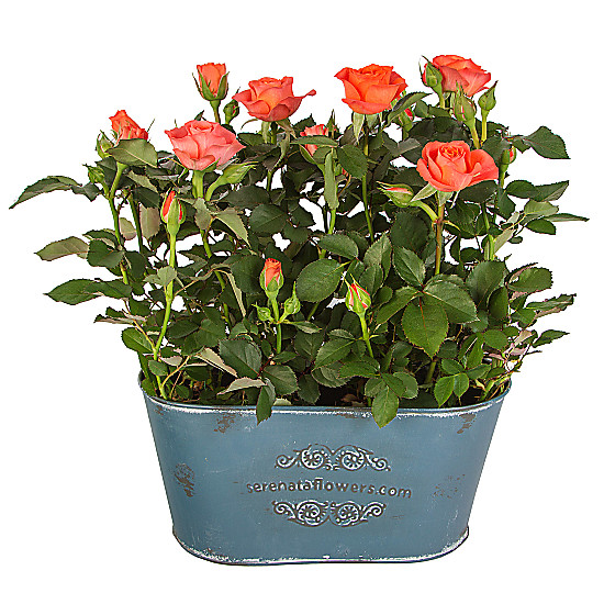 Serenata Flowers Orange Rose Duo Picture
