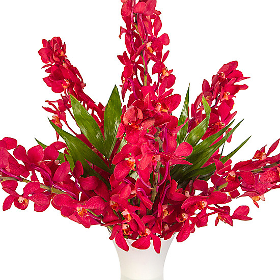 Red Mokara Orchids