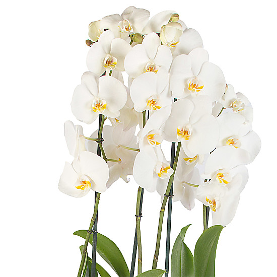Xmas Orchids