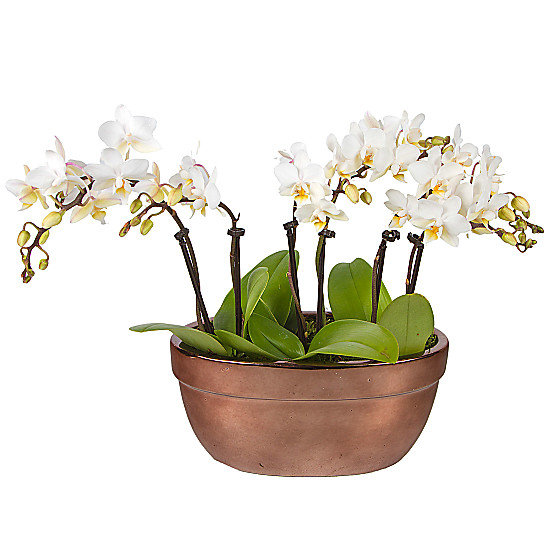 Serenata Flowers Mini Orchid Bowl Picture
