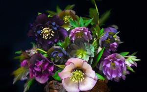 L'Hellébore, la rose de noël