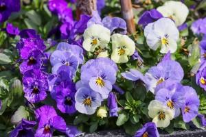 Tout savoir sur la violette