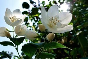 Tout savoir sur le jasmin
