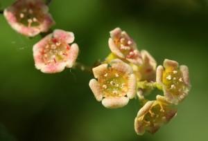 Groseillier à fleurs : faux-cassis