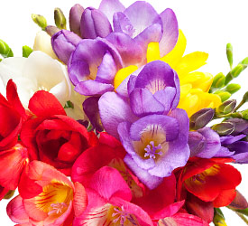 bouquet of freesia flowers
