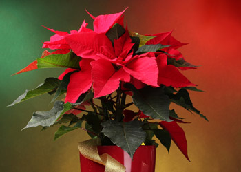 Red Poinsettia in a pot