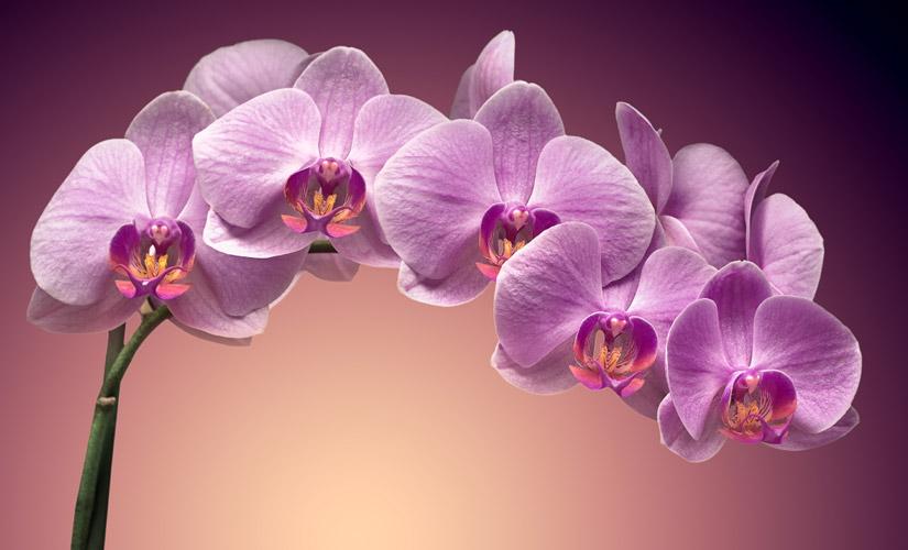 Comment-Ramener-votre-Orchidee-a-la-Vie