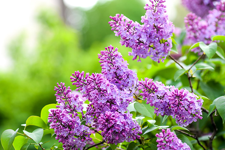 La Fleur Lilas Ou Syringa Vulgaris Eclosion