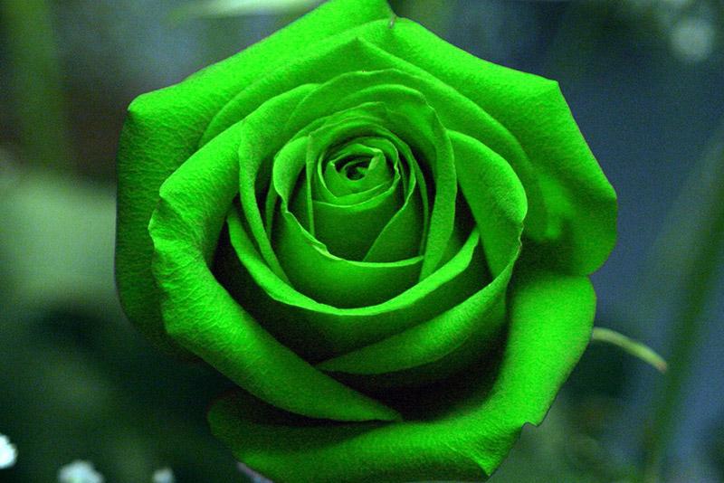 le code des roses signification de toutes les couleurs eclosion le code des roses signification de