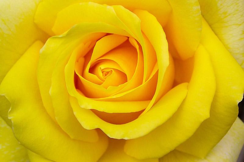 Le Code Des Roses Signification De Toutes Les Couleurs Eclosion