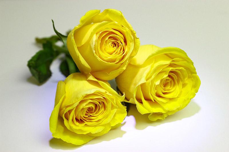 les roses jaunes dans le langage des fleurs closion. Black Bedroom Furniture Sets. Home Design Ideas