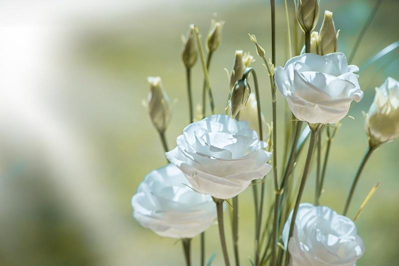 Signification des Fleurs Blanches | éclosion