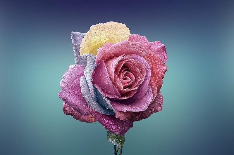 Les belles roses et le reveil des sens