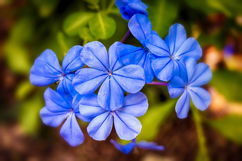 Jasmine fleur