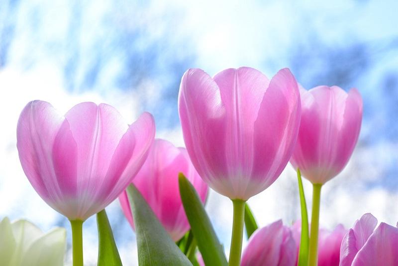 Le tulipe