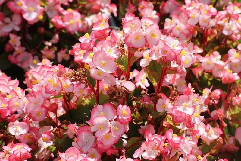 Fleurs de Mai Begonia