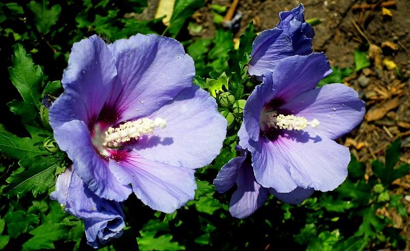 L'hibiscus syriacus